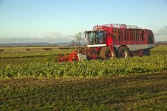 Harvesting Sugar Beet,in Lincolnshire,UK Stock Image