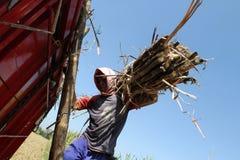 Harvesting sugar cane Stock Image