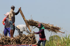 Harvesting sugar cane Stock Images