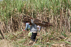 Harvesting sugar cane Stock Image