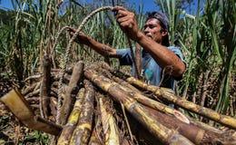 Harvesting of sugar cane Royalty Free Stock Photos