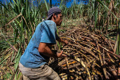 Harvesting of sugar cane Royalty Free Stock Photography