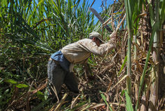 Harvesting of sugar cane Royalty Free Stock Images