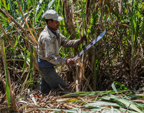 Harvesting of sugar cane Stock Photos
