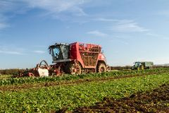 Harvesting sugarbeet. Red Vervaet 617 sugarbeet harvester lifting sugar beet with tractor and trailer following harvesting crops in field Royalty Free Stock Photos