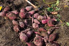 Harvesting sweet potatoes Royalty Free Stock Images