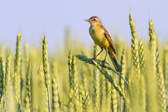 Harvesting symbolizes the bird sitting on the wheat spike. Wildlife, Western yellow wagtail Stock Images