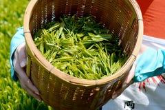 Harvesting tea leaves Stock Image