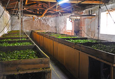 Harvesting tea at the tea factory Stock Images