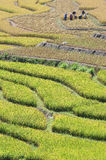 Harvesting in terraced paddy field Royalty Free Stock Images