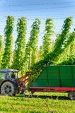 Harvesting The Hop Royalty Free Stock Images