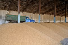 Harvesting. Threshing-floor. With wheat grain on the ground stock photo