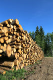 Harvesting timber logs in a forest Stock Photo