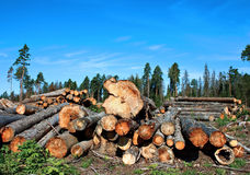 Harvesting timber logs in a forest Stock Photos