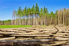 Harvesting timber in the young coniferous forest. Royalty Free Stock Photography