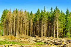 Harvesting timber in the young coniferous forest. Stock Photo