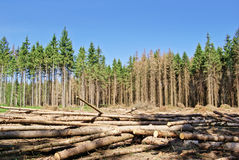 Harvesting timber in the young coniferous forest Royalty Free Stock Photos