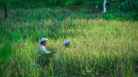 Harvesting time. Couple of dayak farmer with traditional hat harvesting the rice in the field Royalty Free Stock Photos
