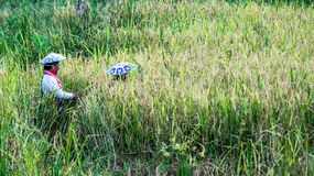 Harvesting time. Couple of dayak farmer with traditional hat harvesting the rice in the field Stock Photos