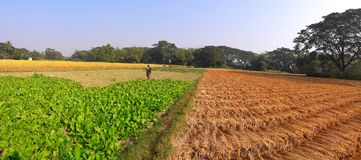 Harvesting time photo of rice paddy and vegetable. royalty free stock images