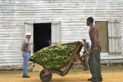 Harvesting tobacco in Cuba royalty free stock photography