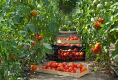 Harvesting  tomatoes Royalty Free Stock Photos