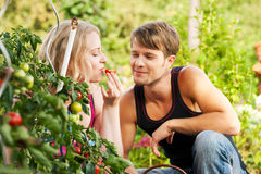Harvesting Tomatoes - couple Stock Images