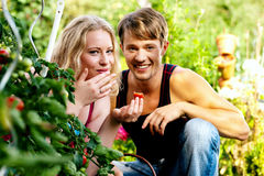 Harvesting Tomatoes - couple. Gardening Couple - man and woman - harvesting and eating tomatoes in their domestic garden on a sunny day Royalty Free Stock Photography