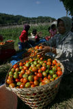 Harvesting tomatoes Stock Images