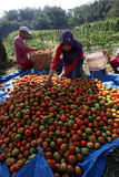 Harvesting tomatoes Stock Photography