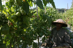 Harvesting tomatoes Royalty Free Stock Photo