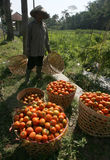 Harvesting tomatoes Royalty Free Stock Photography
