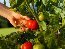 Harvesting tomatoes in the garden Royalty Free Stock Images