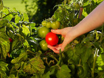 Harvesting tomatos. Hand picking tomatoes from the plant Royalty Free Stock Image