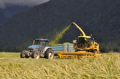Harvesting triticale for silage Stock Image
