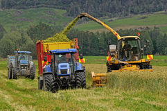 Harvesting triticale for silage Stock Images