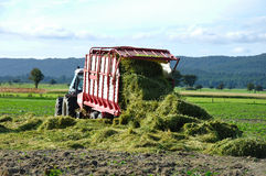 Harvesting triticale for silage Royalty Free Stock Photography