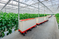Free Harvesting Trolleys With Red Peppers In A Row Stock Photo - 72698740