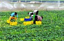harvesting vegetable Stock Photo
