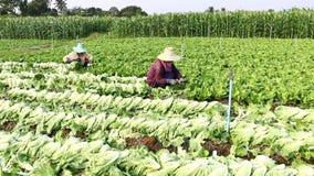Harvesting vegetable stock footage