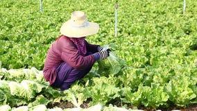 Harvesting vegetable stock video footage