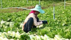 Harvesting vegetable stock video
