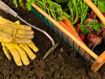 Harvesting Vegetables. A garden hod full of freshly harvested beets, carrots and radishes from a backyard garden Royalty Free Stock Photo