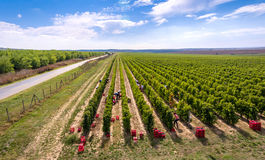 Harvesting vineyard in the autumn season, aerial view from a dro Royalty Free Stock Image