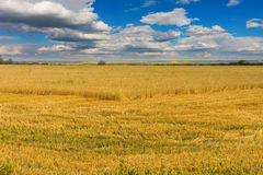 The harvesting wheat Royalty Free Stock Photography
