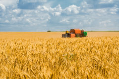 Harvesting of wheat  on the background field and blue sky Royalty Free Stock Photography