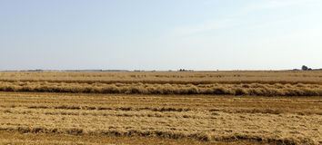 Harvesting wheat, cereals. Agricultural field on which the wheat harvest, summer royalty free stock photography