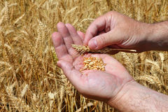 Harvesting. Wheat grains in a farmer's hands on the wheat field background. Cereal harvesting. Agricultural theme Royalty Free Stock Photos