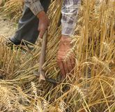 Harvesting Wheat by hand Stock Images