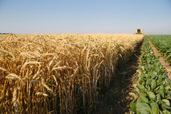 Harvesting wheat Stock Photography